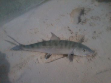 A bonefish ran up on the sand from a shark.