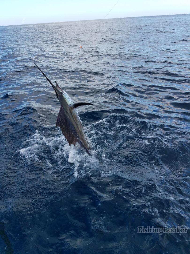 Sailfish action all year!