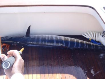 Big Wahoo caught in the tournament