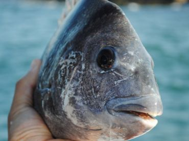 Sheephead. A face only a mother could love