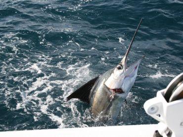 Kite fishing for sailfish