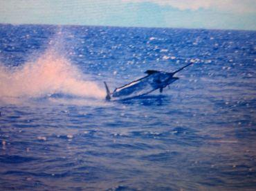 A 400+ Blue Marlin dances for a charter fishing aboard the Key West fishing boat Ramerezi.