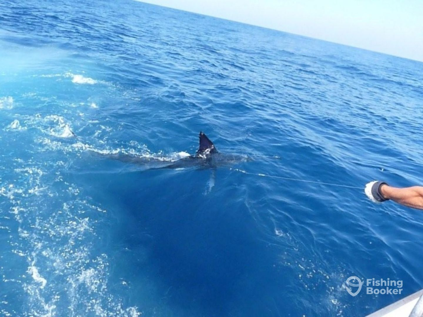 70 kg striped marlin
