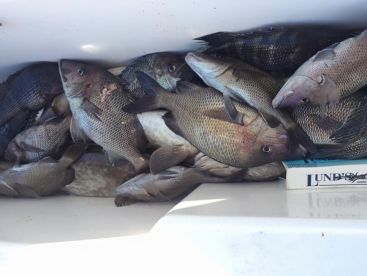 Grouper, Black Sea Bass, White Grunts !! December bottom fishing !!
