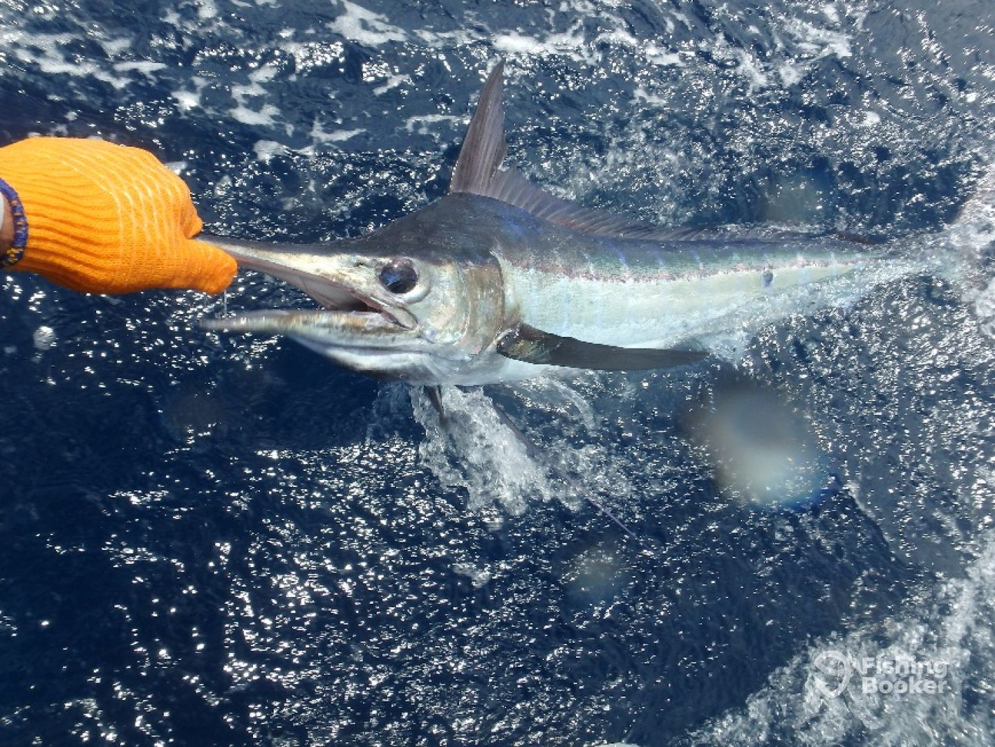 Blue Marlin, Catch and release
