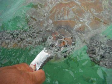 Tortugas tambien comen carnada..........bait works...!!!