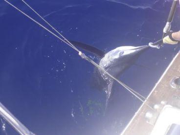 300 lbs Blue Marlin caught off Paul do Mar