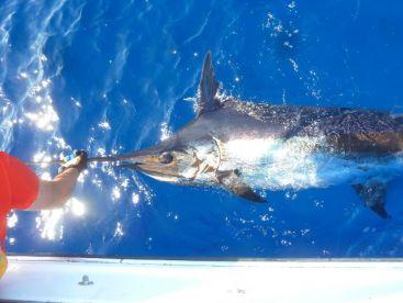 300 lbs Blue Marlin