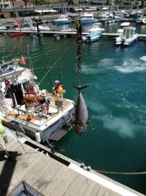 Blue fin tuna 450lbs