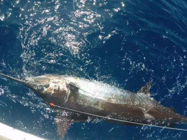 700 lb Blue Marlin caught 25 July 2016
