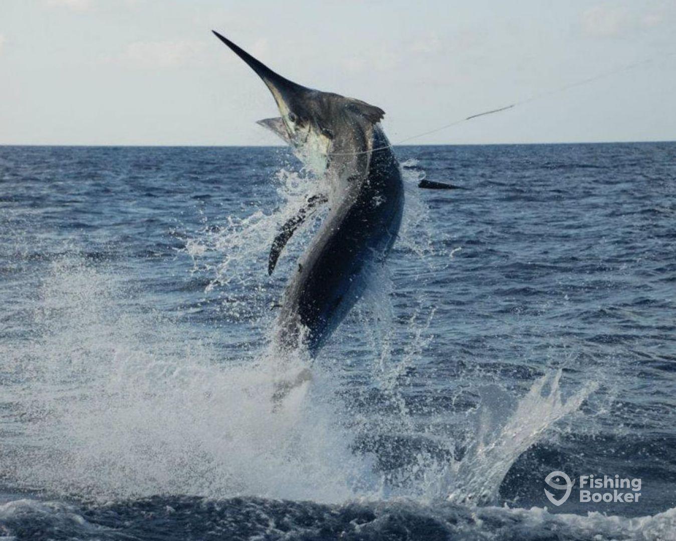 Australian Black Marlin Charters (Cairns) - Updated 2019 ...