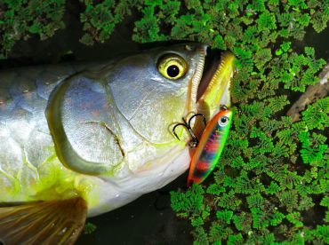 Saratoga are a great topwater sight fishing option, fly or lure.