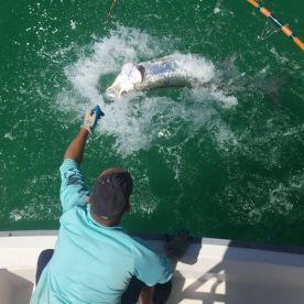 Tarpon on the wire!