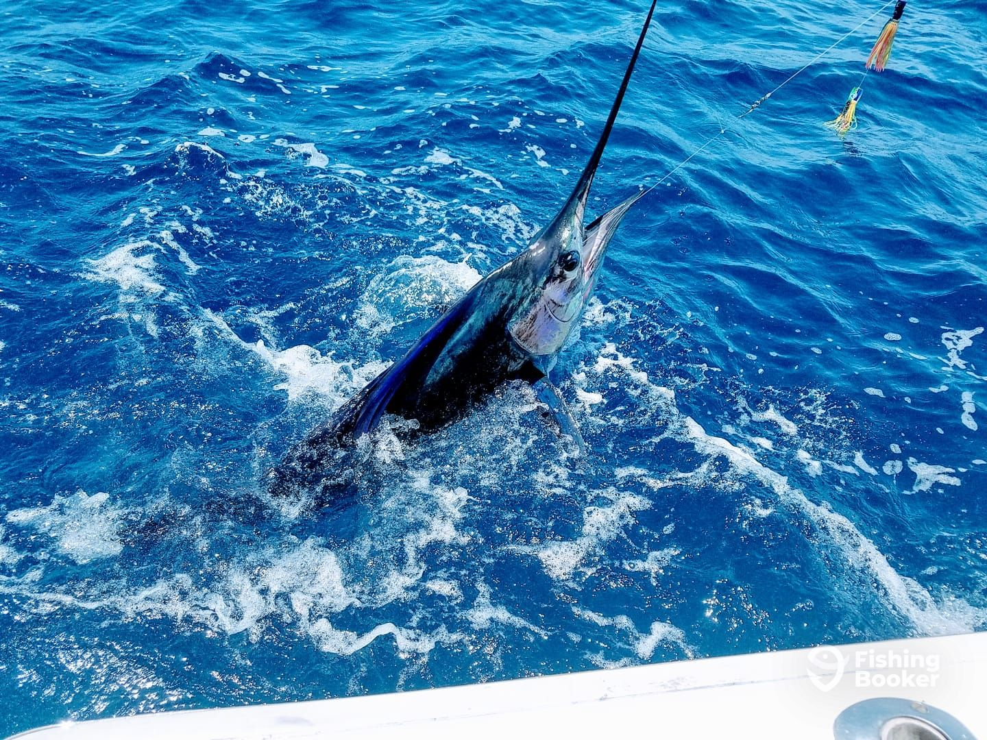 A Mad Marlin Sailfish money shot