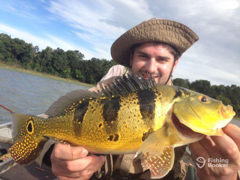 peacock bass yellow