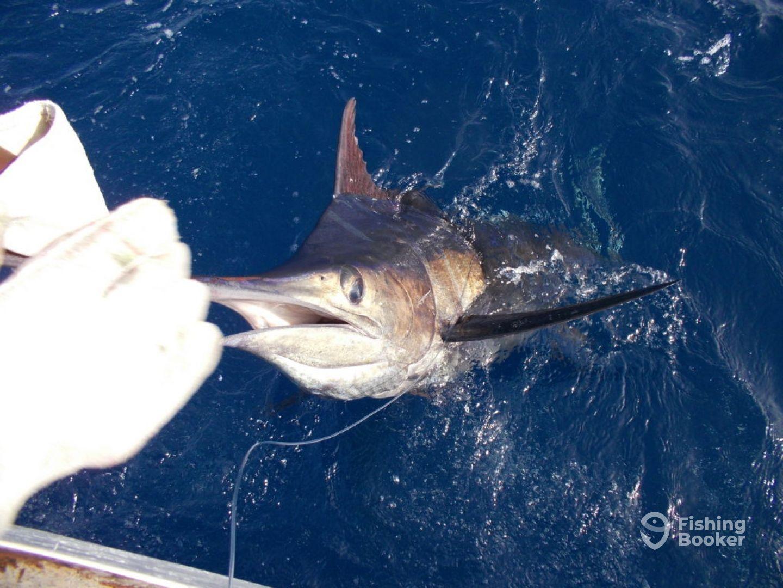 Blue Marlin Fishing Cape Verde