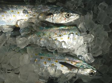 Spanish mackerel are fun to catch on jigs and light spinning rods in the winter.