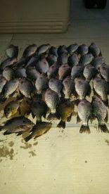 Common crappie catch.