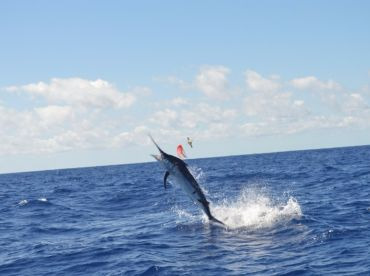 On a recent charter a feisty Black Marlin gave an amazing display of somersaults, tail walks and deep dives that kept everyone on board excited!