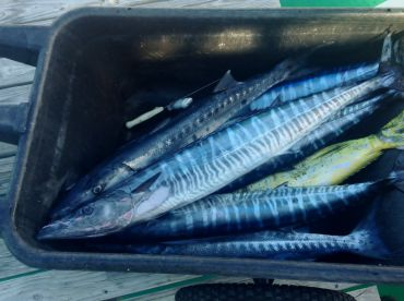 Wahoo and Dolphin  caught on Piece of Floating Dedris