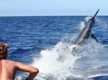 Giant black marlin lunging out of the water