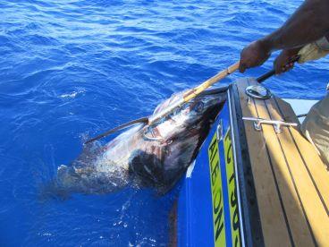 Blue Marlin 570 livres
