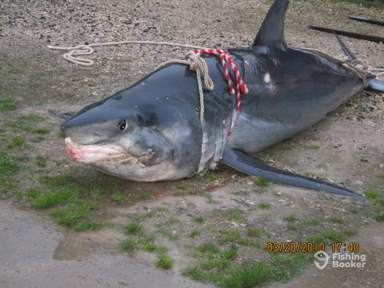 850lb Mako Shark