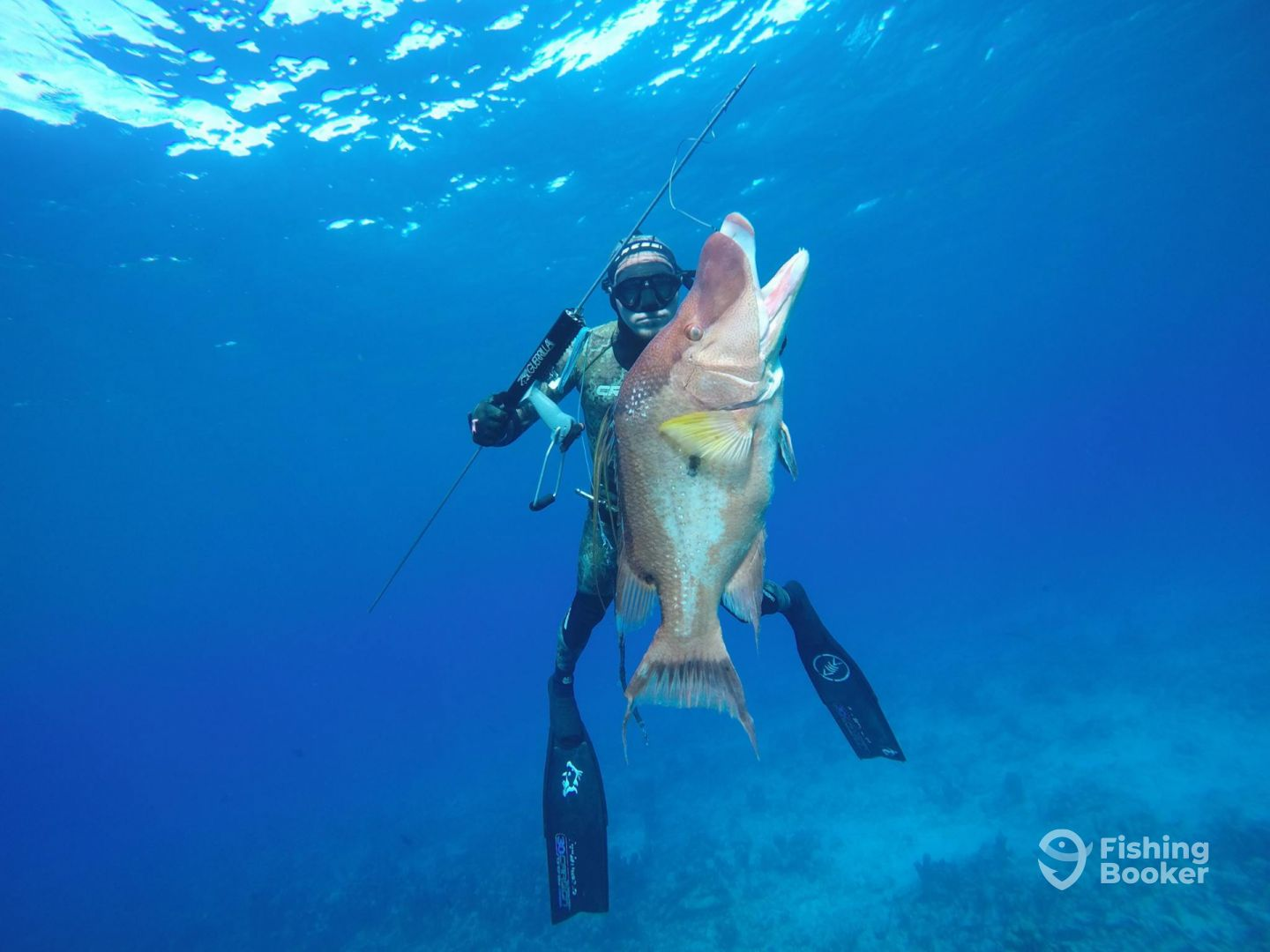 Giant Hogfish Long island Bahamas