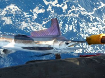 Madeira Marlin - Balancal