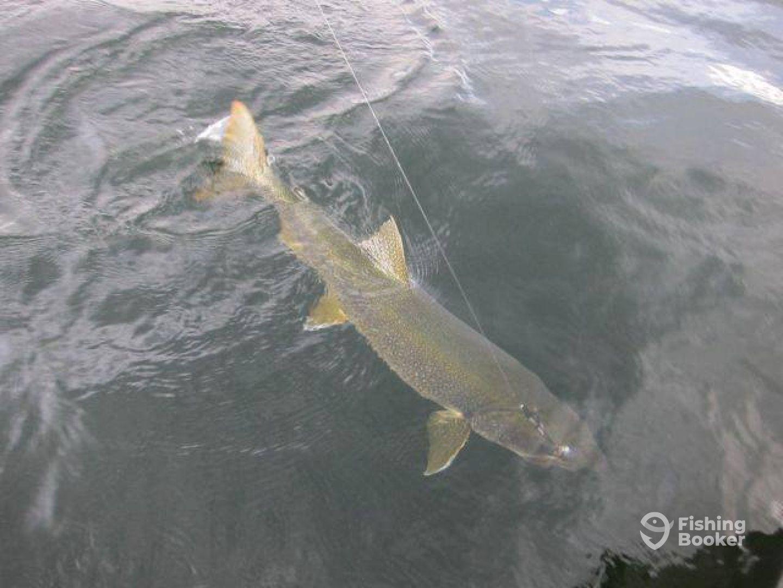 Big Yukon lake trout.