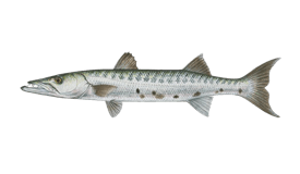 Barracuda (Great)
