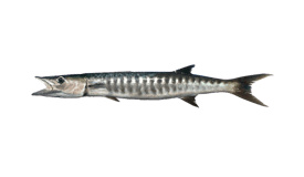 Barracuda (Pacific)