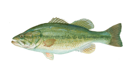 Bass (Largemouth)