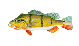 Bass (Peacock)