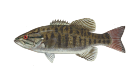 Bass (Smallmouth)