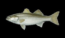 Bass (Striped)