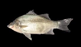Bass (White)