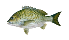 Bream (Black)