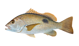 Bream (Fingermark)