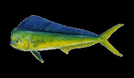 Dolphin (Mahi Mahi)