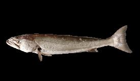 Geelbek (Cape Salmon)
