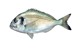 Gilt-head (Seabream)