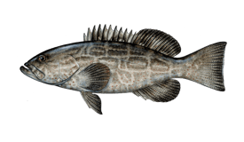 Grouper (Black)
