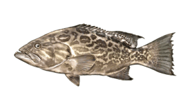 Grouper (Broomtail)