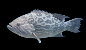 Grouper (Broomtail)