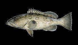 Grouper (Gag)