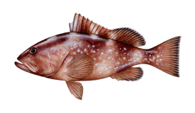 Grouper (Red)