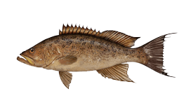 Grouper (Scamp)