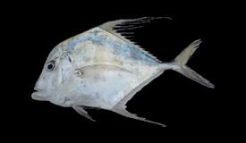 Indian Threadfish