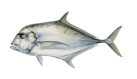 Jack (African Pompano)